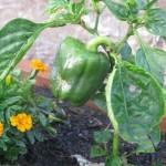 bell pepper2