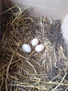 peacock eggs